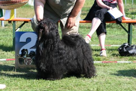 Tibet Terrier Rüde Kyang auf der Ausstellung in Erhausen
