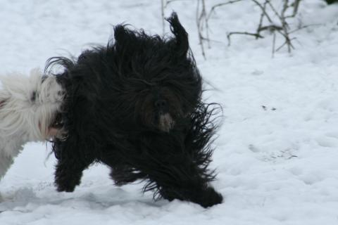 Kyang beim toben im Schnee, Tibet Terrier lieben den Schnee