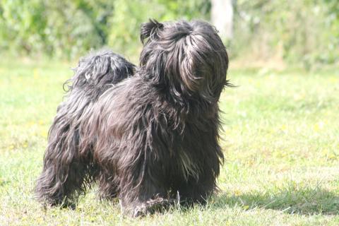"""ibet Terrier Rüde, 9 Jahre alt,   X'Santi Lamleh von Nama-schu genannt """"Junior"""""""