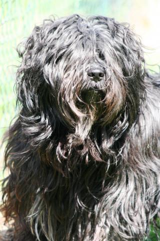 ibet Terrier Rüde, 9 Jahre alt,   X'Santi Lamleh von Nama-schu