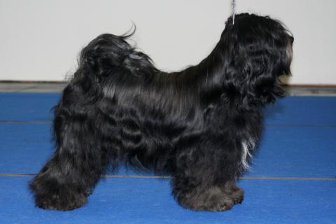 "Tibet Terrier Rüde  X'Santi Lamleh von Nama-schu genannt ""Junior"""