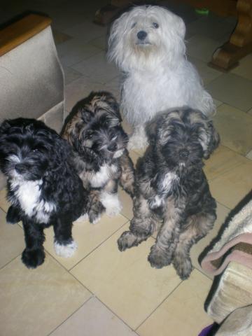 Tibet Terrier Hündin Da-nu ka-ri Jam-ma ist seit dem 03.03.2012 Mutter von 3 strammen Jungs