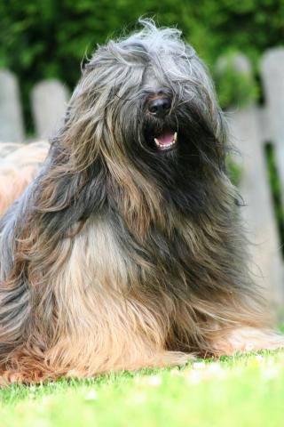 Tibet Terrier vom Winde verweht