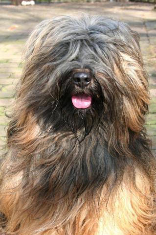 Tibet Terrier Rüde Yontan lacht