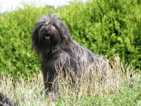 """Tibet Terrier """"Pemba Lamleh von Nama-schu"""" auf Ihrem Lieblingsplatz"""