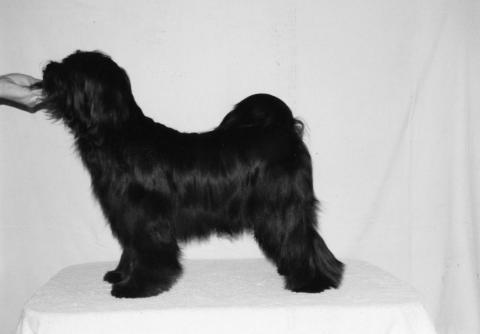 """Tibet Terrier Hündin """"Pemba"""" mit 10 Monaten"""