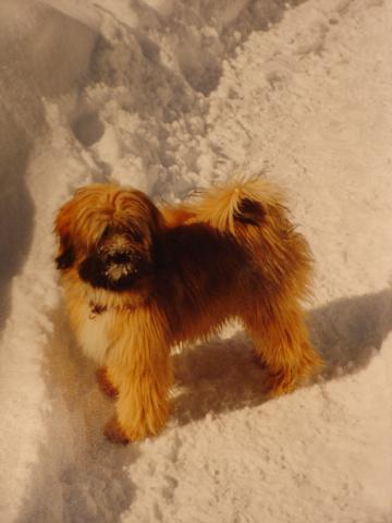 Tibet Terrier Tang-la-Su Fabia, unsere Julie mit 7 Monaten