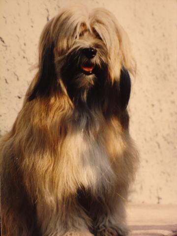 Tibet Terrier Tang-la-Su Fabia, genannt Julie