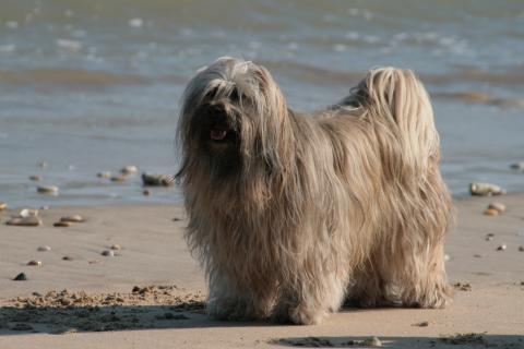 Tibet Terrier Chihosang Bayuscha , hier im Alter von 12 Jahren