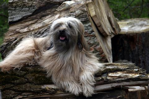 Tibet Terrier Chihosang Bayuscha, 13 Jahre alt