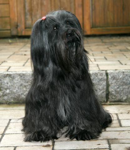 Tibet Terrier Chihosang Dhanya hier im Alter von 14 Jahren