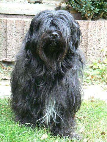 Tibet Terrier Rüde Eddy im Garten
