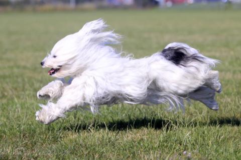 Tibet Terrier Khyi-mo bzw. Flockes Lieblingssport: Rennen