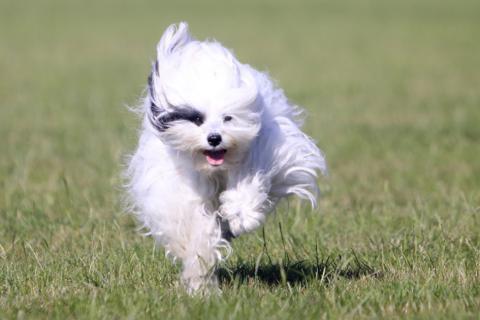 Tibet Terrier mit viel Temperament hallo, hier kommt Flocke!