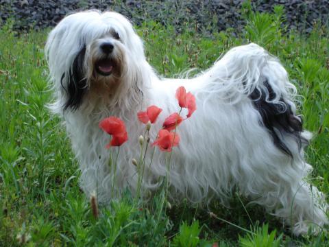 Tibet Terrier Chihosang Khyi-Mo