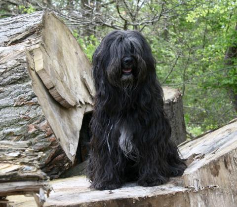 Tibet Terrier Chihosang Lha-khyi-mo