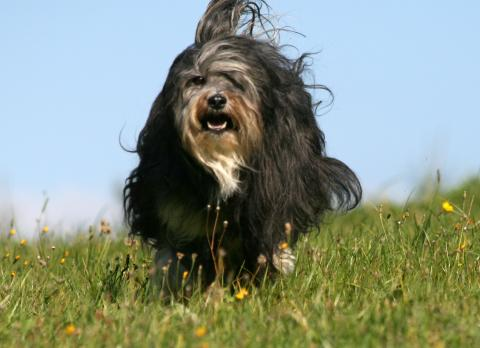 Tibet Terrier Chihosang Raja im Sprint