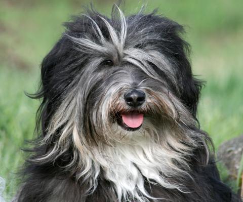 Tibet Terrier Chihosang Raja