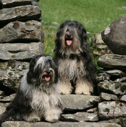 Tibet Terrier Chihosang Raja mit Tochter Chihosang V'Sitha