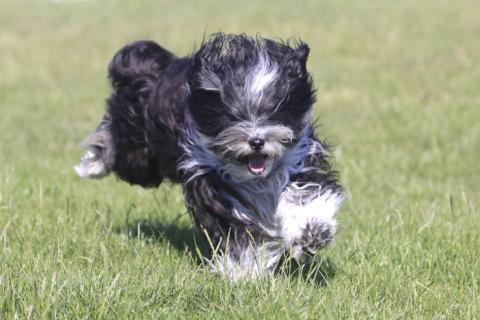 Tibet Terrier Chihosang Sitha, Lieblingsbeschäftigung : Rennen