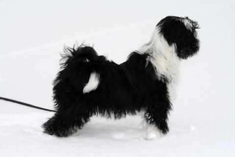 Tibet Terrier Chihosang V'Sitha Jugendfoto im Schnee.