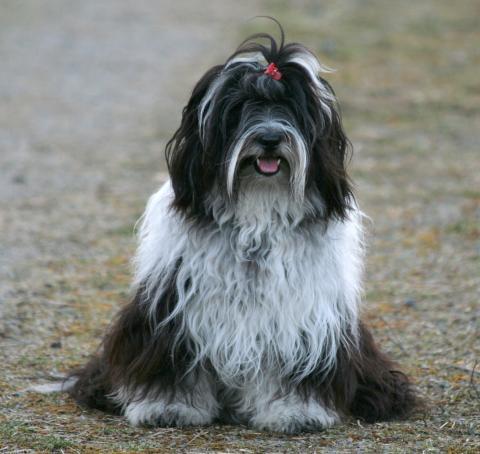 Tibet Terrier Chihosang V'Sitha