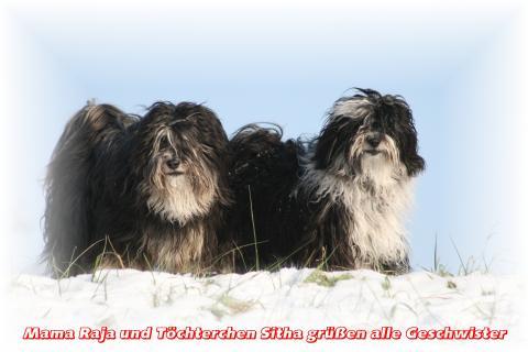 Tibet Terrier Chihosang V'Sitha mit Mama Raja