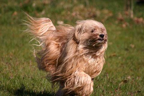 Tibet-Terrier Hündin Tun-Huang Indrajatra in Bewegung