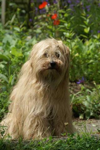 Tibet-Terrier Hündin Tun-Huang Indrajatra im Alter von 14 Jahren