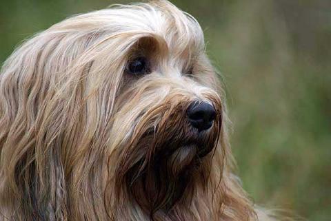 Tibet-Terrier Hündin Srinagar Danda Bya-ra, Kopfstudie, Alter: 6 Jahre