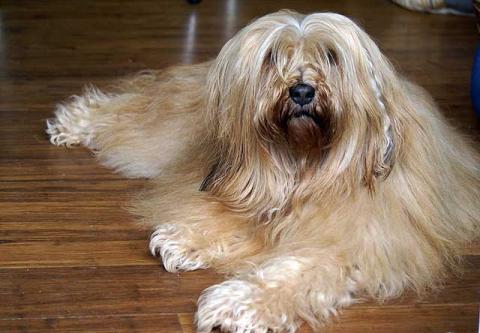 Tibet-Terrier Hündin Srinagar Danda Bya-ra (8 Jahre alt)