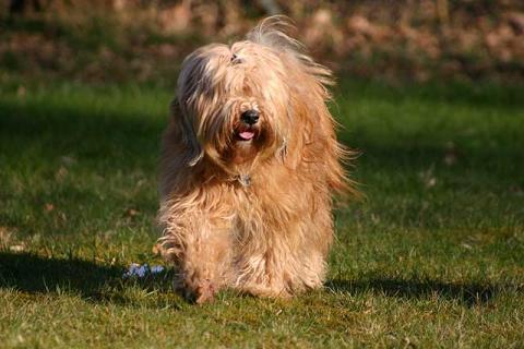 Tibet-Terrier Hündin Srinagar Danda Bya-ra im Alter von 4 Jahren