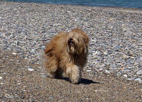 Tibet-Terrier Hündin Srinagar Danda Bya-ra im Urlaub am Strand