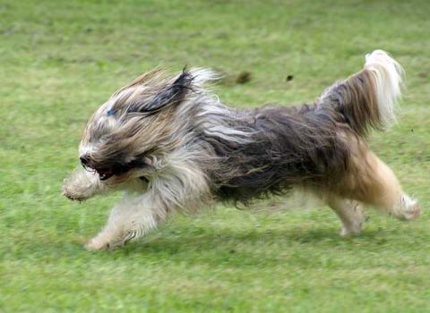 Tibet-Terrier Hündin Srinagar Danda Da-cha Milica: Rennen macht Spaß!
