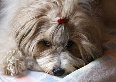 Tibet-Terrier Hündin Srinagar Danda Da-cha Milica mit typischem Augenaufschlag