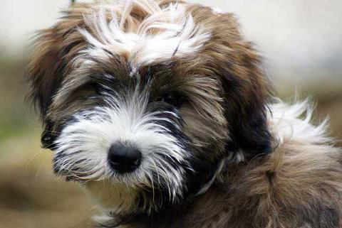 """Tibet-Terrier Hündin Srinagar Danda Da-cha Milica, genannt """"Milka"""" im Alter von 16 Wochen"""
