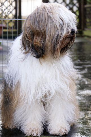 Tibet-Terrier Hündin Srinagar Danda Da-cha Milica im Januar 2011