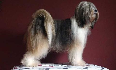 "Tibet-Terrier-Hündin Srinagar Danda Da-cha Milica, genannt ""Milka"" in Pose"