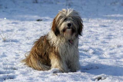 Tibet-Terrier Hündin Srinagar Danda Da-cha Milica im Schnee, 1 Jahr alt