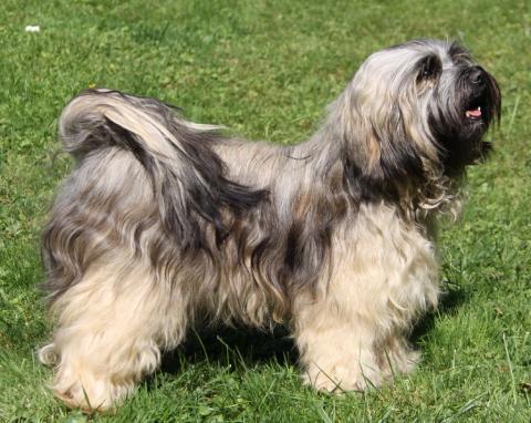 Tibet Terrier Hündin X´Tashi Khyil von Kirata mit 20 Monaten