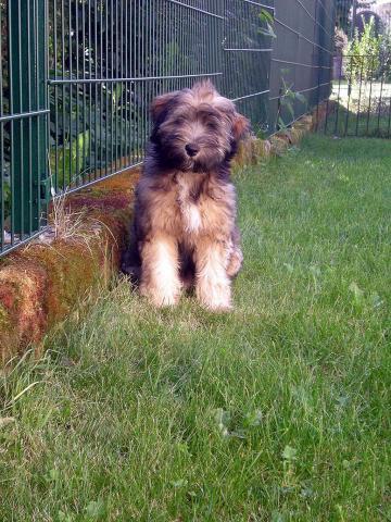 Tibet Terrier Hündin Nan-dari Lamleh von Nama-schu