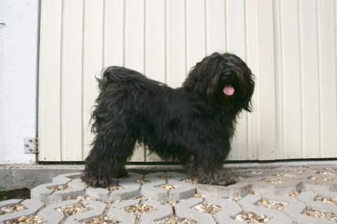 Tibet Terrier Chihosang U'Jowo zu Hause