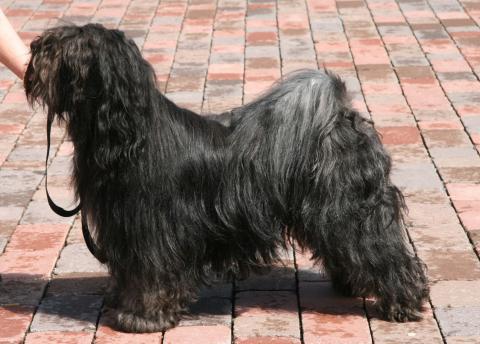 Tibet Terrier Chihosang U'Jowo