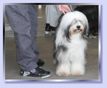Tibet Terrier Chaya schick gemacht