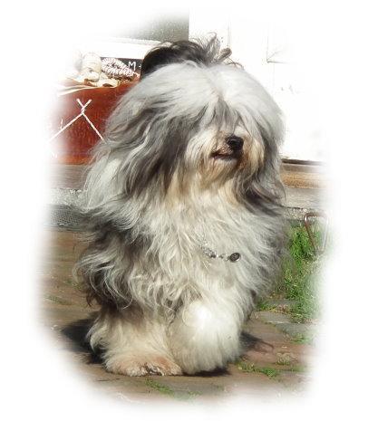 Tibet Terrier Hündin Chaya