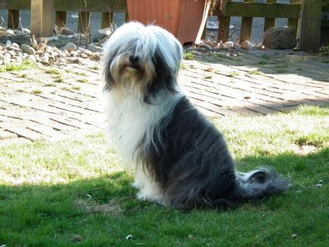 Tibet Terrier Chaya im Garten