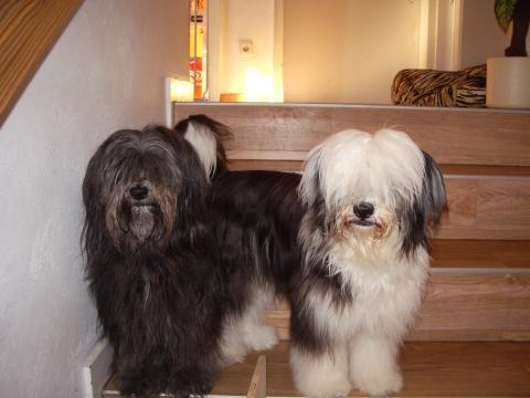 Tibet Terrier Chaya mit Mami Njilam
