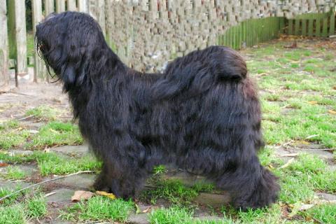 Tibet Terrier A Tsa Rya Lhun-Po