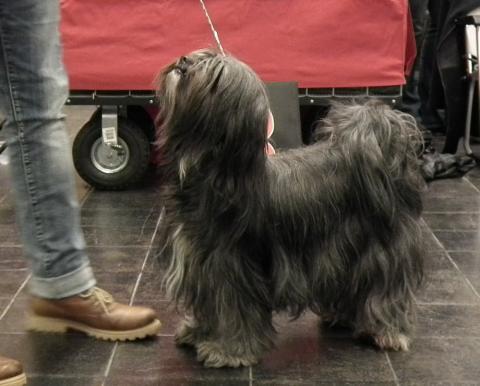 Tibet Terrier Hündin vom verlorenen Tal: Mo, 3,5 Jahre alt