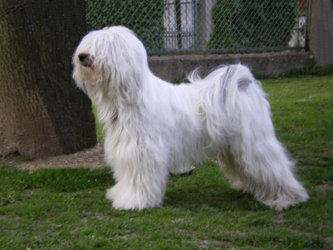 "Tibet Terrier Rüde ""Gangja-La Classic Art"" im Frühling"